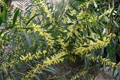 Mimosa longifolia plant flowered Stock Photo
