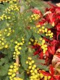Mimosa med bakgrunden av röda sidor Fotografering för Bildbyråer