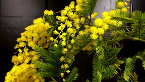 Mimosa. Mimosa Spring Flowers Easter background. Blooming mimosa tree. stock footage