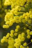 Mimosa na flor Fotos de Stock