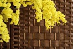 Mimosa op rieten achtergrond Stock Afbeeldingen
