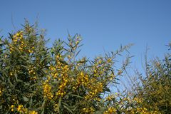 Mimosa på en buske royaltyfri bild