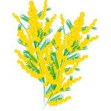 Mimosa per il giorno delle donne Royalty Illustrazione gratis