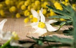Mimosa, pingstlilja i de internationella kvinnornas dag och påsk Arkivbild