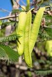 Mimosa pods ripening on mimosa tree Stock Photo