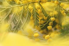 Mimosa pretty yellow charming branch royalty free stock image