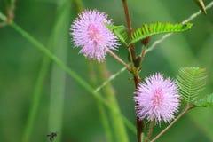 Mimosa Pudica fotos de stock