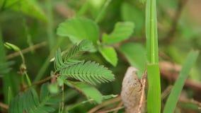 Mimosa Pudica φιλμ μικρού μήκους