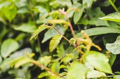 Mimosa Pudica Photo libre de droits