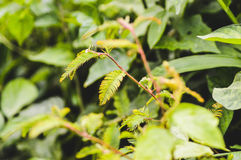 Mimosa Pudica royaltyfri foto
