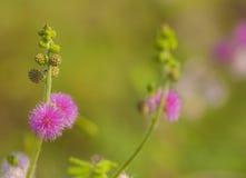 Mimosa Pudica Foto de Stock