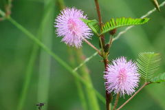 Mimosa pudica Stock Photos