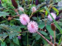 Mimosa pudica/Bashfulgrass/Sensitiveplant Στοκ εικόνες με δικαίωμα ελεύθερης χρήσης