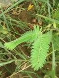 Mimosa Pudica foto de archivo libre de regalías