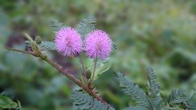 Mimosa pudica blossom stock photos