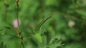Mimosa pudica closes when the girl touching leaves stock video footage