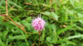 Mimosa pudica del fiore della natura Fotografia Stock