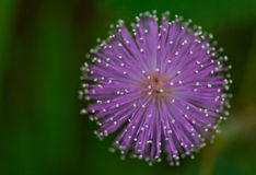Mimosa pudica flower Royalty Free Stock Photography