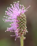 Mimosa Pudica flower. Mimosa Pudica purple wildflower just starting to bloom early March in Florida Stock Photos