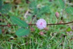 Mimosa pudica flower of shy plant beautiful in nature.  royalty free stock photos