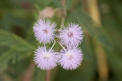 Mimosa pudica flowers Stock Photography
