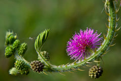 Mimosa pudica flowers Royalty Free Stock Photo