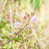 Mimosa pudica Royalty Free Stock Photo