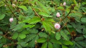 Mimosa pudica L. royalty free stock photos