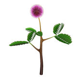 Mimosa pudica royalty free illustration