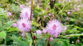 Mimosa pudicas. Mimosa pudica pink stock photography
