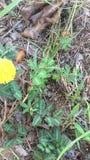 Mimosa pudica o pianta sensibile che risponde al tocco stock footage