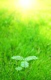 Mimosa pudica royalty free stock photos