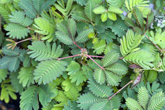 Mimosa pudica sensitive plant Stock Photography