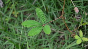 Mimosa pudica is sensitive plant. HD stock video