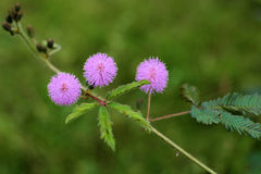 Mimosa pudica. Three flower Mimosa flowers in the park royalty free stock photos