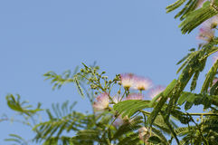 Mimosa pudica. Royalty Free Stock Photography
