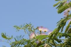 Mimosa pudica. Stock Photo