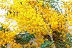 Mimosa's Stock Fotografie