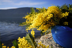 Mimosa's 18 Royalty-vrije Stock Afbeelding