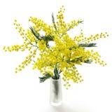 Mimosa's Royalty-vrije Stock Afbeelding