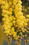 Mimosa's royalty-vrije stock foto's