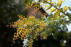 Mimosa`s bud Close-up. stock images