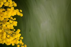 Silver wattle bouquet against green backround, closeup, copyspace Royalty Free Stock Photography