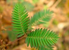 Mimosa's Pudica Stock Afbeeldingen