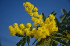 Mimosa sbocciante in cielo blu Fotografia Stock