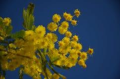 Mimosa sbocciante in cielo blu fotografia stock libera da diritti