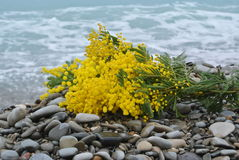 Mimosa at the sea. A branch of mimosa for the feast of Women's Day Stock Photo