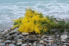 Mimosa at the sea Stock Photo