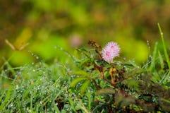 Mimosa selvagem no amanhecer Fotos de Stock
