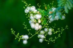 Free Mimosa Sepiaria Benth Stock Photos - 195426663
